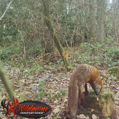BestFoxCall PREMIUM Fox Bait – Fuchs Lockmittel