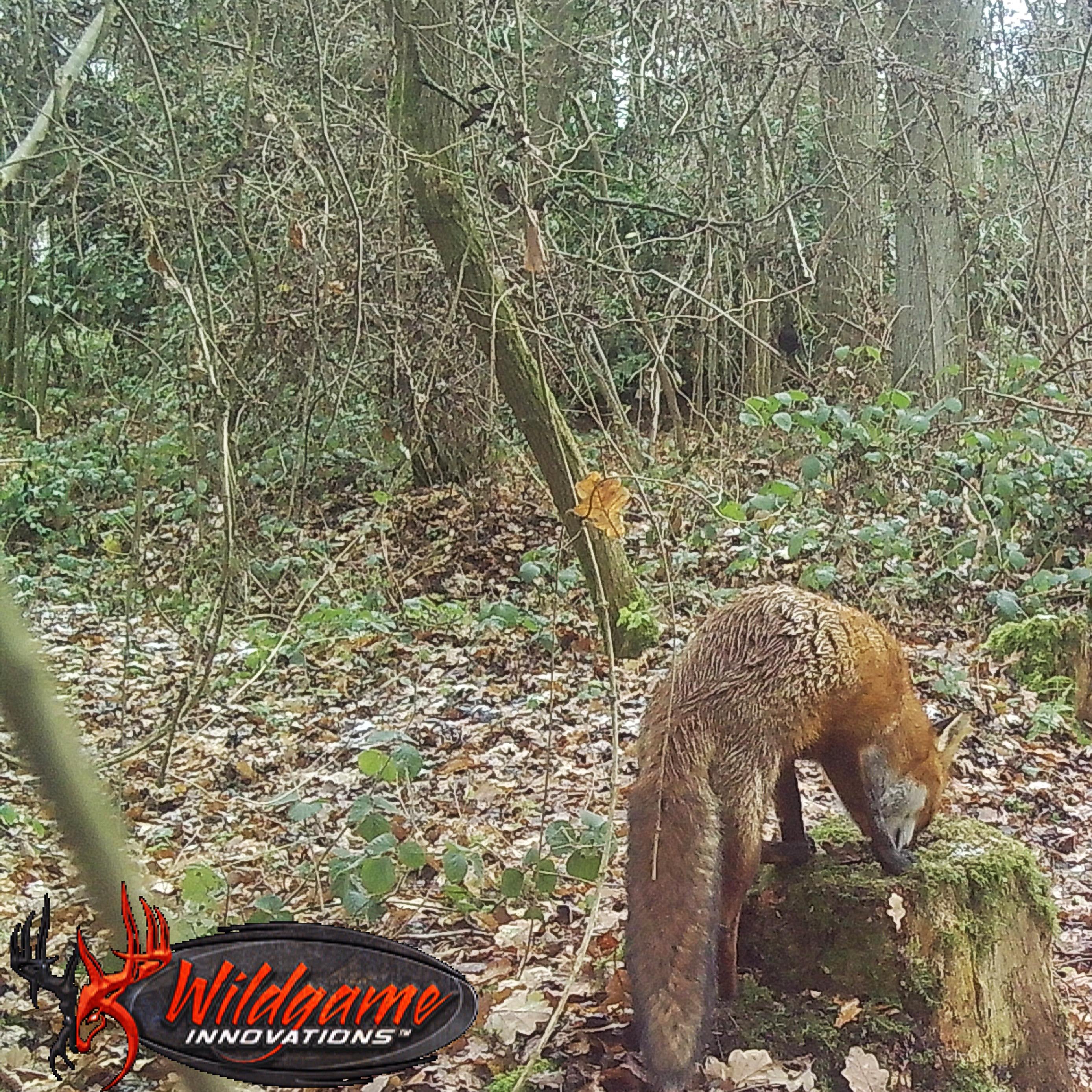 BestFoxCall PREMIUM Fox Bait - Fuchs Lockmittel